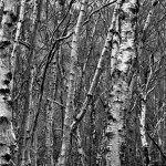 Silver Birches at Mallydams